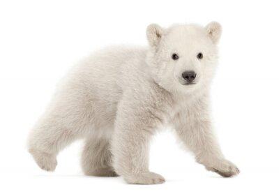 Sticker Polar bear cub, Ursus maritimus, 3 months old