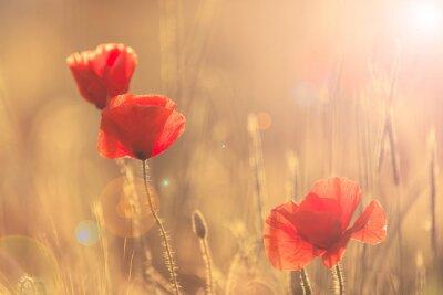 Sticker Poppies in summer nature field with bright golden light/summer background/spring background
