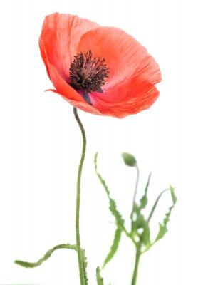 Sticker Poppy flower close-up