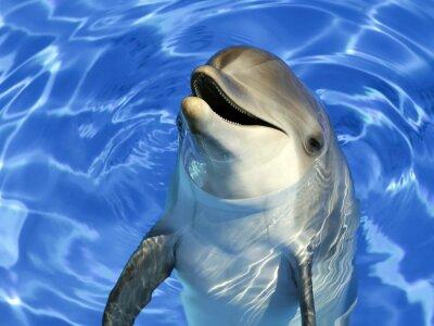 Sticker Portrait d'un dauphin commun