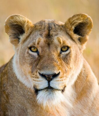 Sticker Portrait of a lioness. Close-up. Kenya. Tanzania. Maasai Mara. Serengeti. An excellent illustration.