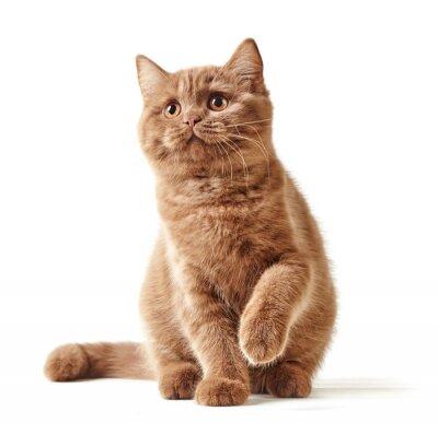 Sticker portrait of british kitten