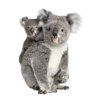 Sticker Portrait of Koala bears,  in front of white background