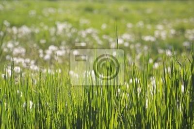 prairie de fleurs blanche 2