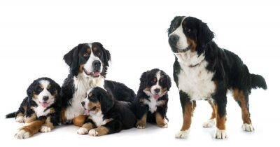 Sticker puppies and adult bernese moutain dog
