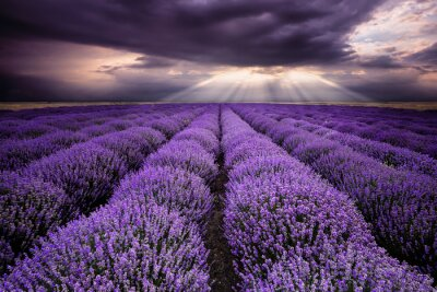 Sticker Rays over lavender field