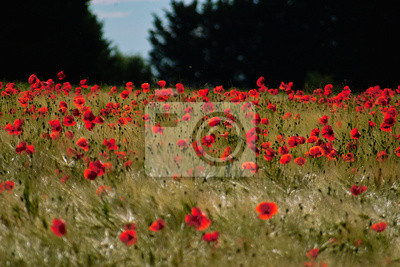 red coquelicots