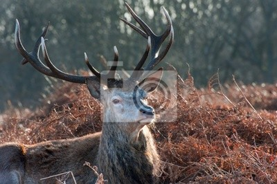 Sticker Red deer stag portrait in Autumn Fall Winter forest landscape