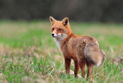 Sticker Red fox