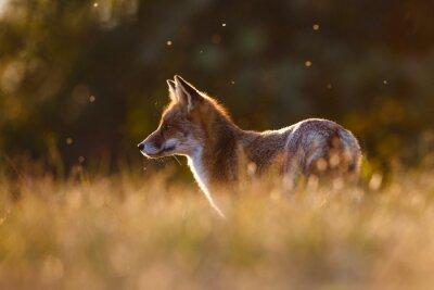 Sticker red fox in beautiful light
