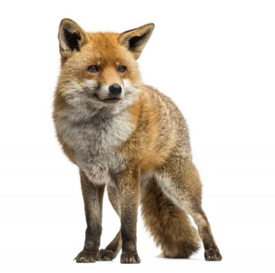 Sticker Red fox, Vulpes vulpes, standing, isolated on white