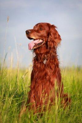 Sticker Red irish setter dog