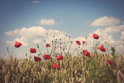 Sticker Red poppies in field of wheat