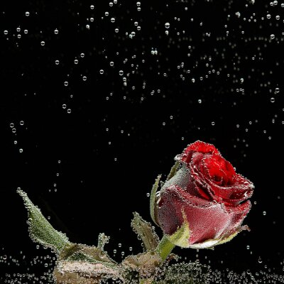 Sticker Red rose in dew drops on a black background