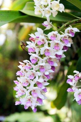 Sticker Rhynchostylis orchid.