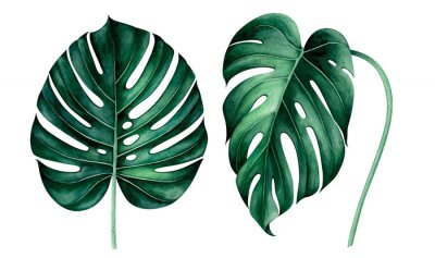 Sticker Set of tropical monstera leaves isolated on white. Watercolor illustration.