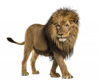 Sticker Side view of a Lion walking, Panthera Leo, 10 years old