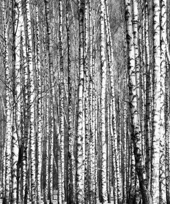 Sticker Spring birch trees black and white