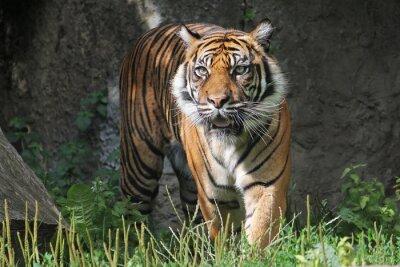 Sticker Sumatran Tiger in the Warsaw Zoo. Sunny summer day.
