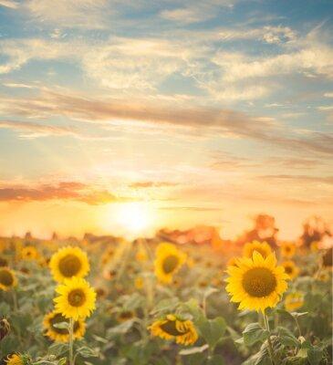 Sticker Sunflower field.