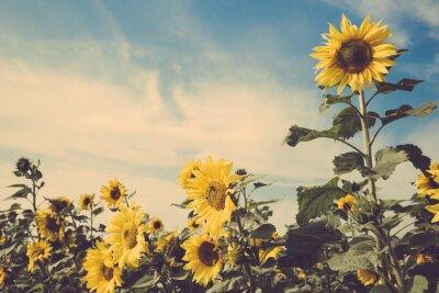 Sticker sunflower flower field blue sky vintage retro
