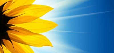 Sticker Sunflower flower sunshine on blue sky background