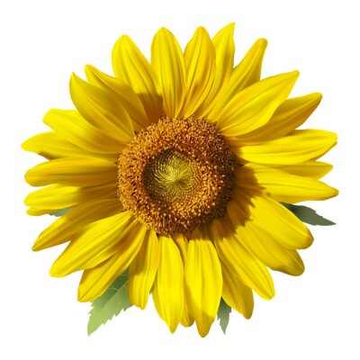 Sticker Sunflower - Heliantus.  Hand drawn vector illustration of a Sunflower, realistic image in vibrant colors with highlights and shadows on white background.