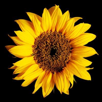 Sticker sunflower isolated