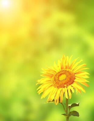 Sticker Sunflower on green background