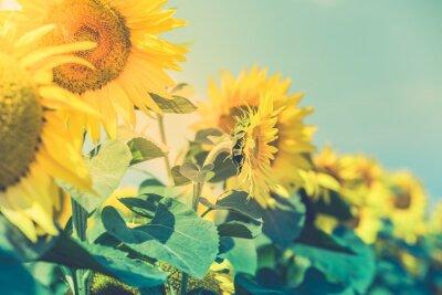 Sticker Sunflowers Field view