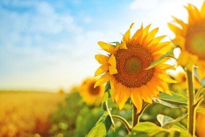 Sticker Sunflowers in the field