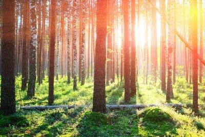 Sticker Sunrise in pine forest