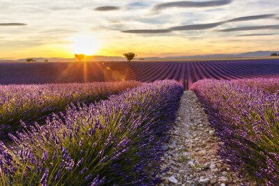 Sticker Sunset on a lavender field with two trees