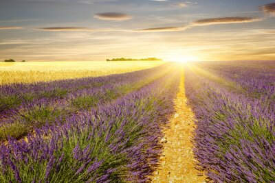 Sticker Sunset on lavender and wheat fields