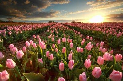 Sticker sunset over pink tulip field