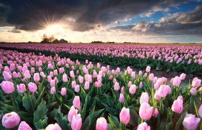 Sticker sunshine over pink tulip field