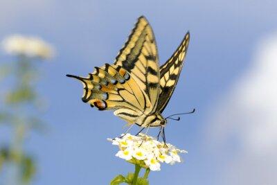 Sticker Swallowtail feeding on Lantana flowers. Slow shutter speed to capture wing fluttering.