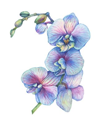 Sticker The branch of blossoming tropical blue flower orchid (Phalaenopsis orchid, Dendrobium). Floral art. Close up hybrid orchid. Hand drawn watercolor painting illustration isolated on a white background.