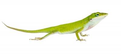 Sticker The lizard  Northern Green Anole (Anolis carolinensis carolinens
