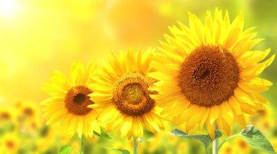 Sticker Three bright yellow sunflowers
