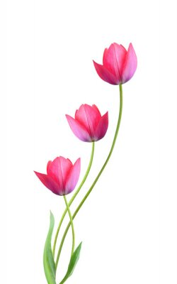 Sticker Three tulip flowers isolated on white background