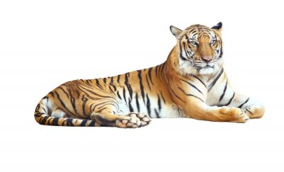 Sticker Tiger looking camera with clipping path on white background