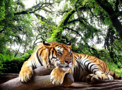 Sticker Tiger looking something on the rock in tropical evergreen forest