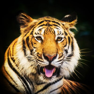 Sticker Tiger portrait of a bengal tiger.