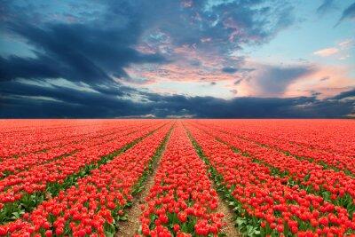 Sticker Tulip field in Netherlands