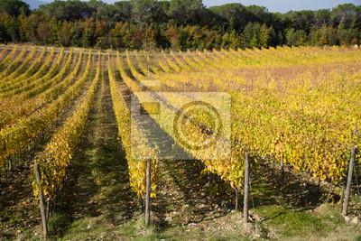 tuscany vineyard near siena