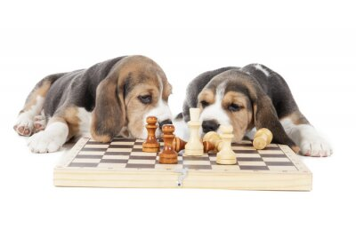 Sticker two beagle puppies playing chess on a white background in studio