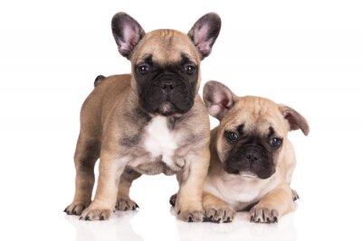 Sticker two beige french bulldog puppies on white