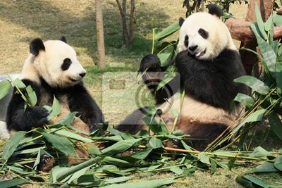 Sticker Two giant panda enjoying their bamboo food in a zoo