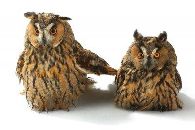 Sticker two owl